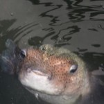 Fisken kommer op hver dag kl1500 for å få mat i marinaen